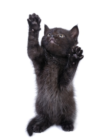 A cute black kitten standing on his back paws and looking up. photo