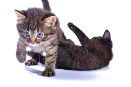 close-up portrait of two black kittens playing together photo