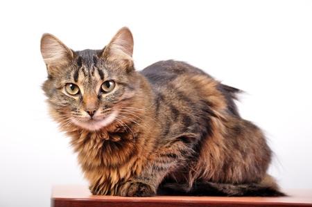 ふわふわの国内猫のクローズ アップの肖像画 写真素材