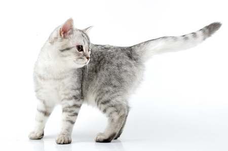 bred:  portrait of silver grey white Scottish kitten playing Stock Photo