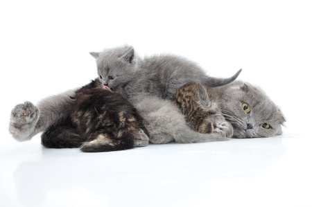 Mother cat milk feeding her kittens  Scottish folded eas breed  Studio shot   photo