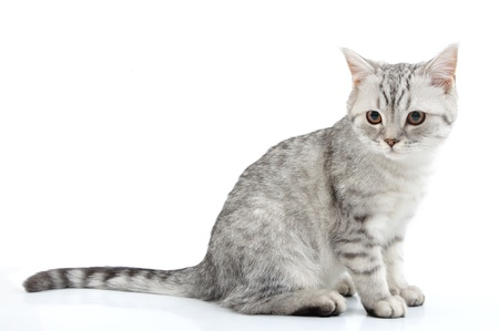 シルバー グレー白スコットランド子猫ポーズの肖像画