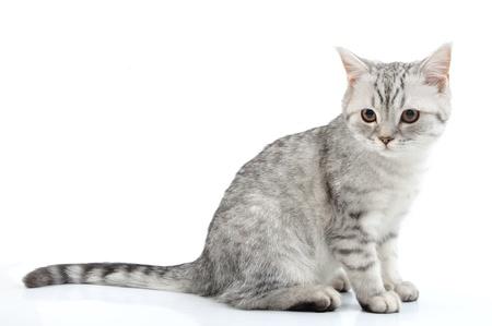 cats: ritratto di grigio argento bianco Scottish kitten posa