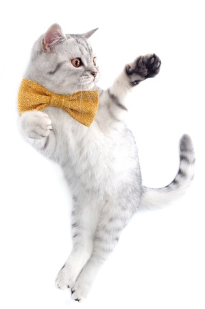 young silver tabby Scottish cat with bow tie playing