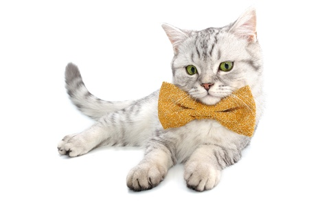cat head: beautiful young silver tabby Scottish cat kitten with bow tie on white background posing and looking at camera Stock Photo
