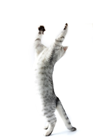 full length portrait of jumping playing reaching  silver kitten cat  photo