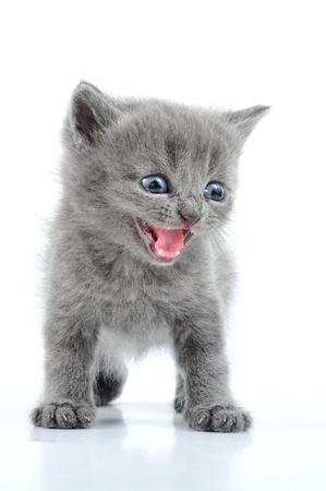 gato jugando: retrato de la divertida brit�nica gatito gris aislado