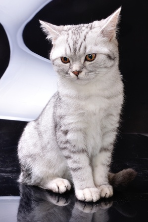 gray cat: silver tabby Scottish cat kitten against white and black background Stock Photo