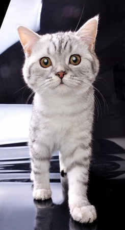 adorable purebred Scottish young kitten  cat walking towards against black and white background