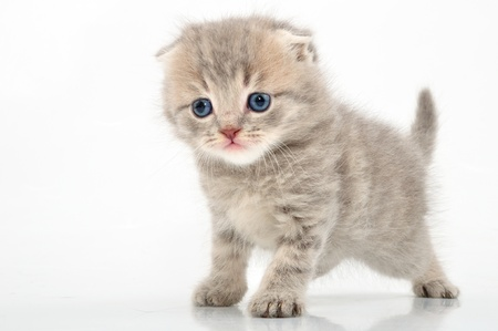 portrait of funny British kitten photo