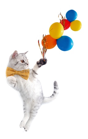 cats playing: young silver tabby Scottish cat with bow tie with balloons