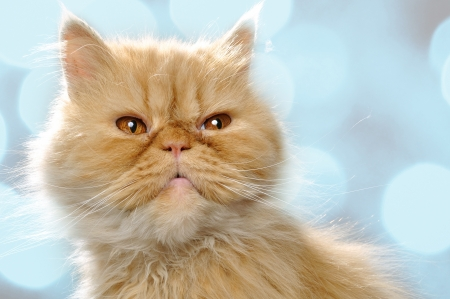 close-up portrait of a red Persian breed cat Stock Photo - 15119824