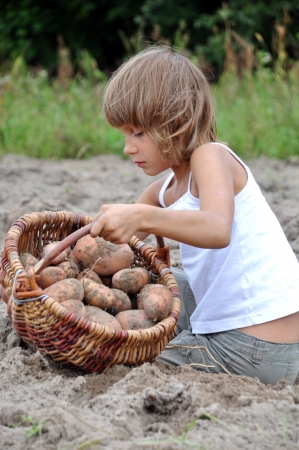 elementary age child gathering potatoes in the field in baskets