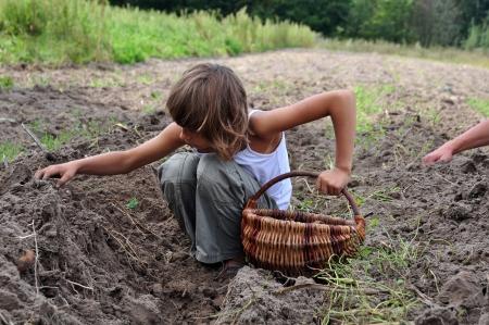elementary age children gathering potatoes in the field in baskets Standard-Bild