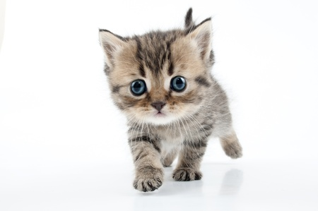 Small 1 month old Scottish straight kitten walking towards. Studio shot.