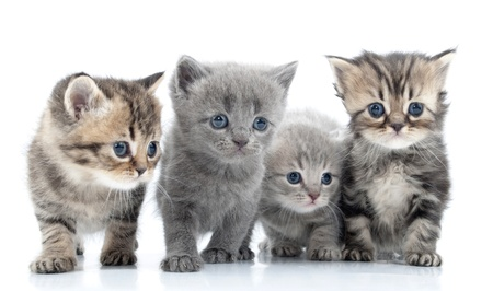 Portrait of group of young Scottish cats . Studio shot. Isolated. Stock Photo