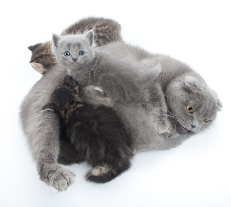 family portrait of Scottish fold mother cat feeding her kittens photo