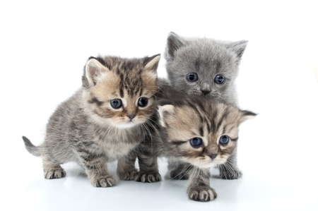 cat walk: isolated studio portrait of  kittens walking together Stock Photo