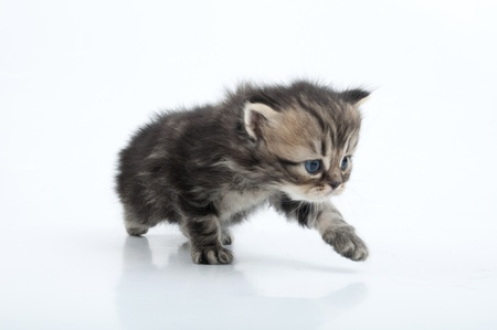 miaul: Small 1 month old Scottish straight kitten walking towards. Studio shot.