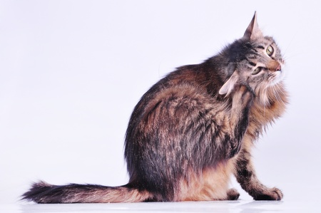Beautiful gray mixed-breed pregnant cat scratching her ear