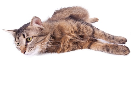 animal pussy: Beautiful gray mixed-breed pregnant cat relaxing. Isolated over white background. Stock Photo