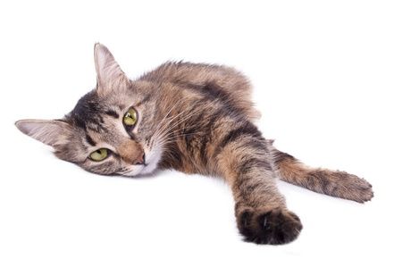 animal photo: Beautiful gray mixed-breed cat relaxing. Isolated over white background.