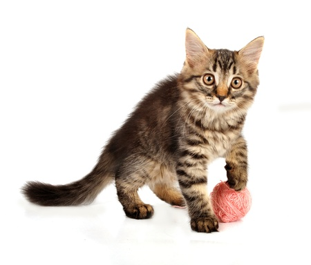 Cute little 3 months old kitten playing with a wool ball  Studio shot  photo