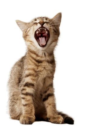 Kleine kitten met open mond gapen Studio opname