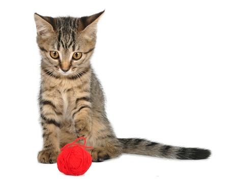 gato jugando: Cute little 3 meses de edad gatito jugando con un ovillo de lana Tiro del estudio