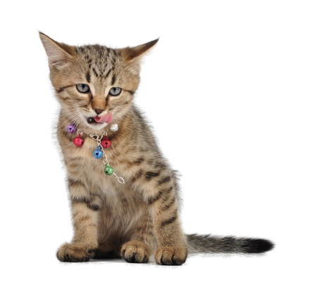 miaul: Small kitten with open mouth and tongue out  Studio shot  Stock Photo