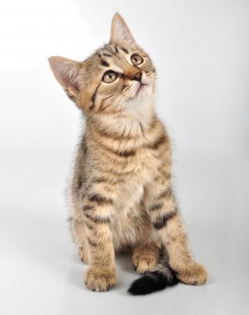 Little striped  kitten looking up. Studio shot. photo