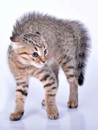 scottish straight: Small Scottish straight kitten looking scared  Studio shot