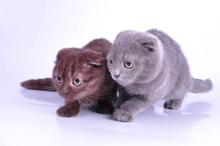 mewing: Two Scottish fold kittens walking towards  Studio shot