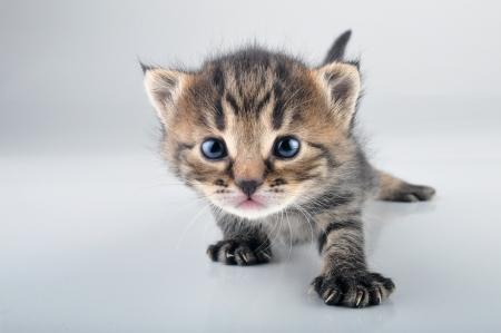 mewing: Little 20 days old kitten   Studio shot