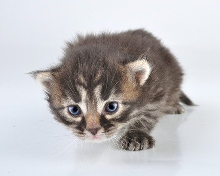 miaul: Young 20 days old kitten   Studio shot