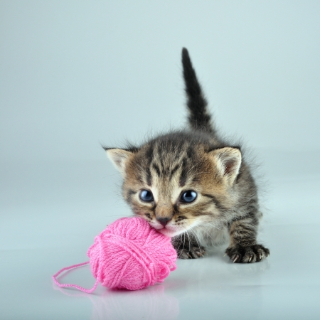 mewing: Funny cute little kitten playing with a woolball   Studio shot