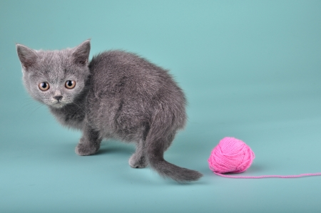 miaul: 3 months old Scottish straight kitten with a woolball. Studio shot. Stock Photo
