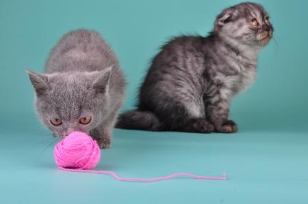 mewing: Two Scottish straight fold kittens playing. Studio shot.