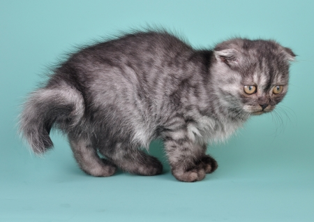 desease: Scottish fold  kitten with crooked tail. Studio shot.