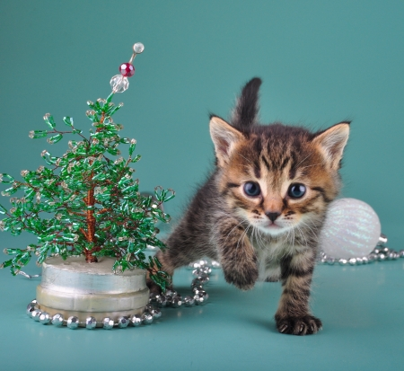 cat playing: Small  kitten among Christmas stuff   Studio shot