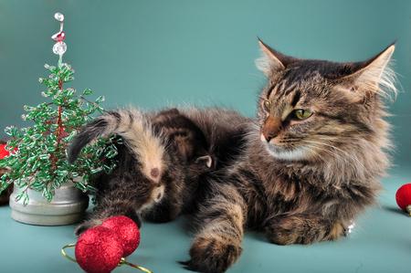 christmas pussy: Small  kitten with mother cat among Christmas stuff   Studio shot