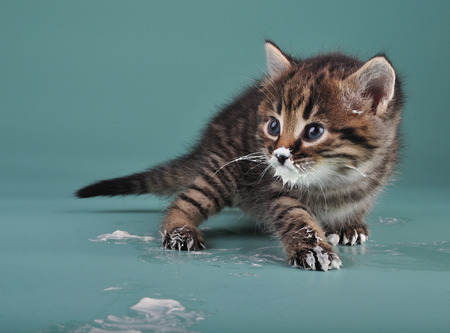 Small kitten with sour milk over face and paws   Studio shot  photo