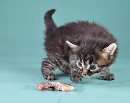cat eating: Small kitten frightened and playing with fish . Studio shot.