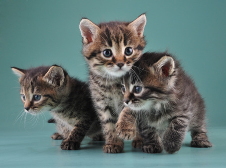mewing: Group of cute little kittens.