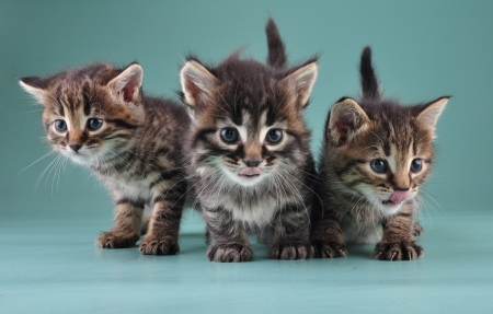 mewing: Group of three little kittens together . Studio shot.