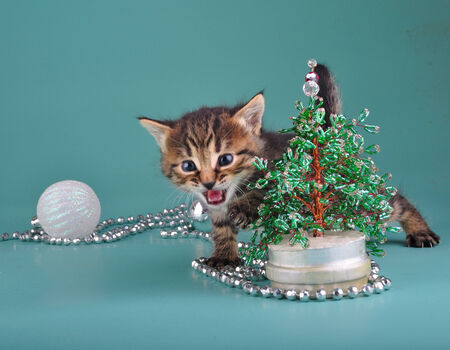 mewing: Small  kitten against Christmas tree . Studio shot.