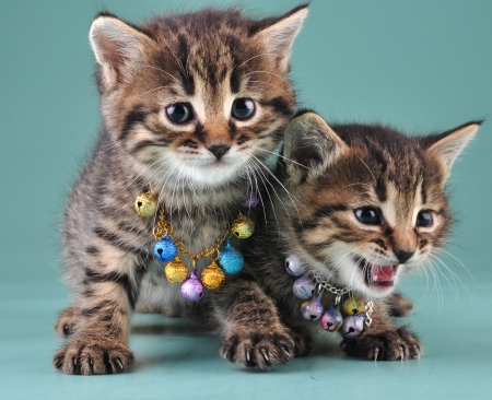 Little kittens with small metal jingle bells beads . Studio shot. photo