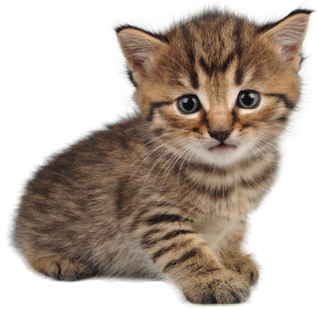 cuddly: Portrait of small kitten looking at camera. Isolated on white background