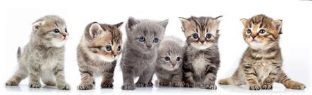 白い背景に、子猫の大規模なグループの肖像画を分離スタジオ