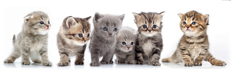 studio isolated portrait of large group of kittens against white background